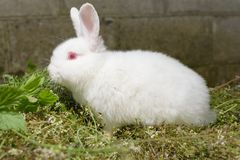 White little rabbit on green grass. Royalty Free Stock Image