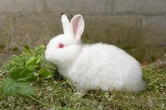 White little rabbit on green grass. Royalty Free Stock Photo