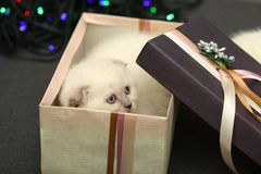 White little scared kitten in a gift box against a bokeh background. stock photo