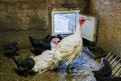 White live turkey with chicken in the barn in the village royalty free stock photo