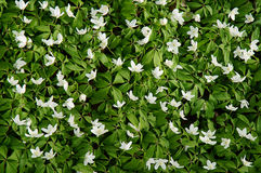 White liverleaf background. White liverleaf covering the ground Royalty Free Stock Photography
