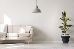 White living room with ficus. Grey lamp and ficus near beige settee with pillow and blanket in white living room interior with copy space Stock Photography