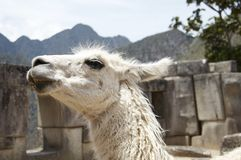 White llama Stock Photos