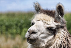 White Llama. A white and grey llama out in a field Royalty Free Stock Photography