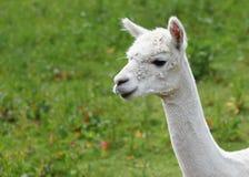 White Llama Stock Image