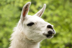 White llama Stock Photo