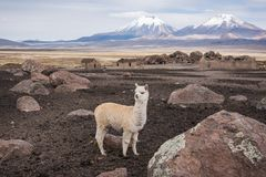 White llama against volcanos. Altiplano landscape;  White cute llama against volcanos, Bolivia, South America Royalty Free Stock Photo