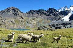 White llama in Andes mountains stock photos
