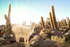 White llama at cactus garden by Isla Incahuasi in Salar de Uyuni Bolivia Stock Photography