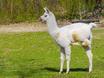 White llama cria Stock Photography