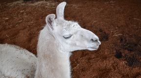 White Llama. Head of a white Llama in closeup with erect ears resting on a brown mulch background Royalty Free Stock Photos