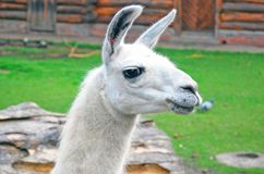 White llama head portrait. Royalty Free Stock Photos
