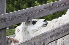 A white llama (Lama glama) in Austria. A llama in the Austrian mountain village of Obermauern. Llamas have a fine undercoat which can be used for handicrafts and Royalty Free Stock Images