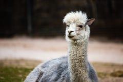 White Llama Lama glama Stock Photo