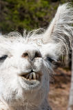 White llama nods in agreement Stock Image