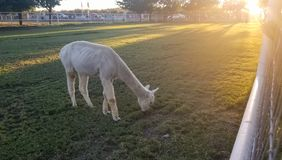 White llama in a paddock with a beautiful sunset