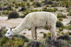 White llama in Peru Royalty Free Stock Photography