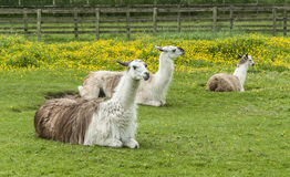 White Llama. Three white and brown llama resting in a buttercup meadow Stock Photos