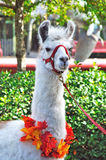 White llama at a zoo. A white llama decorated with a colorful leaf necklace, at a zoo Stock Photography