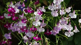 White lobelia flowers close up in the garden, HD footage stock footage