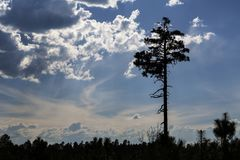 White Lodgepole Pine silhouetted against a blue Arizona sky Stock Photos