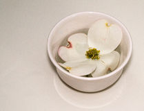 A White Lonely Flower. White Dogwood blossom sitting in a white cup on white background Stock Photography