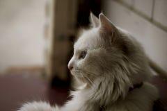 White Long Coat Cat Royalty Free Stock Photos