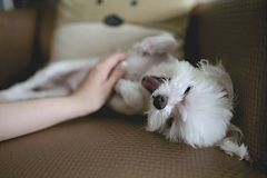White Long Coat Puppy Holding by Person Royalty Free Stock Photo