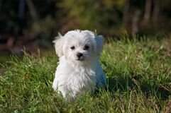 White Long Coated Dog on Grassland Royalty Free Stock Image