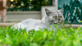White long hair home pet cat on green grass in the garden. A long hair white persian cat  with yellow eyes laying on the green grass in the garden at home Royalty Free Stock Photography