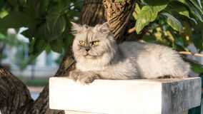 White long hair home pet cat on a pole. A long hair white persian cat  with yellow eyes laying on a pole at the entrance of the house guarding the garden Royalty Free Stock Photography