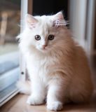 White Long-Haired Kitten Waiting at the Door Royalty Free Stock Photos