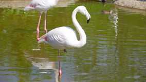 White long-legged flamingos in sunny day stock footage