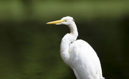 White Great Egret wading bird spear fishing on log in swamp Royalty Free Stock Photography