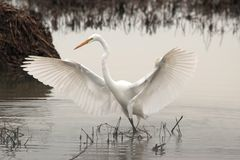 White, Long, Neck, Bird, Water Stock Images