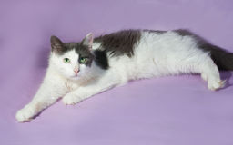 White longhair cat with gray spots sitting on purple Royalty Free Stock Photo