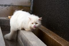 White longhair persian cat licking its nose with tongue. After drinking water from outdoor pool stock images