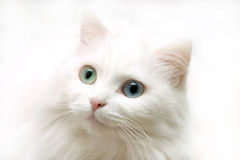 White look. White cat looks ahead Stock Photos