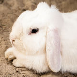 White Lop Eared Domestic Rabbit Lying Down on Sand. Cute white lop eared domestic pet rabbit (Oryctolagus cuniculus) with long pinkish ears and black eyes lying Stock Photos