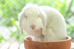 White lop rabbit Royalty Free Stock Image