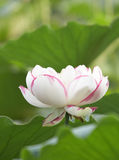White lotus. A beautiful white lotus against green leaves Royalty Free Stock Photography