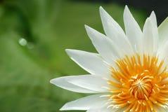 White lotus. Close-up of white lotus in marsh Stock Photo