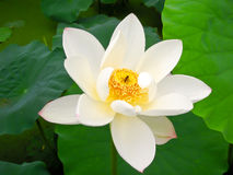 White lotus. With honeybee on it in the morning Stock Photos