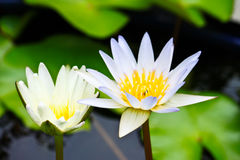 White lotus Royalty Free Stock Photography