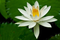White lotus. Detail of tropical white lotus Royalty Free Stock Photo
