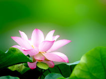 Free White Lotus Royalty Free Stock Image - 18722036