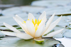 White Lotus. Flower in a lake in the north of Germany Stock Photography