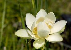 White lotus. Blooming Royalty Free Stock Images