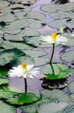 White lotus. Blossoms with many leaf on pond Royalty Free Stock Photography