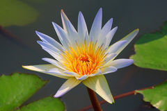 White lotus. Stock Photography